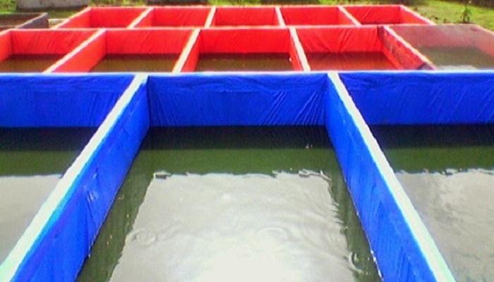 cara budidaya gurame kolam terpal