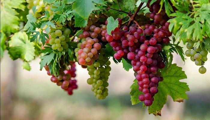 cara menanam anggur dari biji