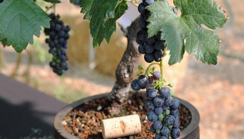 cara menanam anggur di pot
