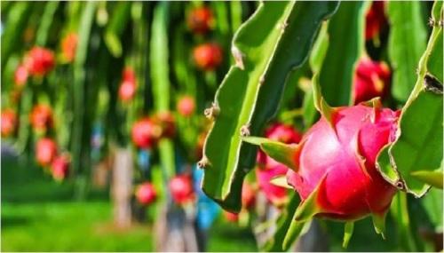cara menanam buah naga
