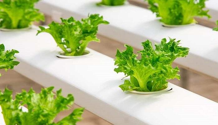 cara menanam hidroponik selada