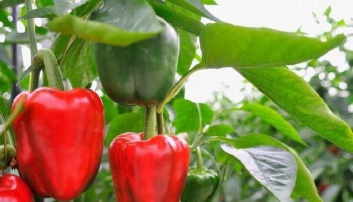cara menanam paprika